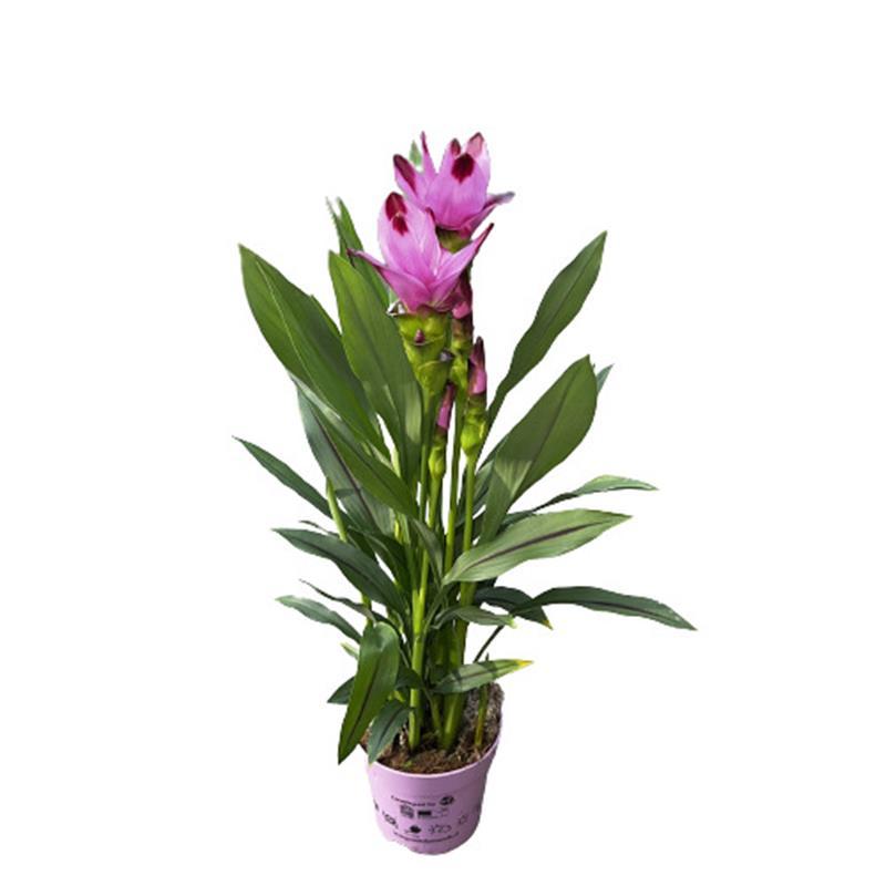 Curcuma petiolaris d19 p 80 90cm tulipe du siam v g tal for Arrosage automatique plantes interieur
