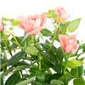 ROSA hyb.D11 HORTICOLE X11 Julie - Flirt