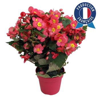 BEGONIA elatior D17 2PPP x5 PRODUCTION FRANCAISE