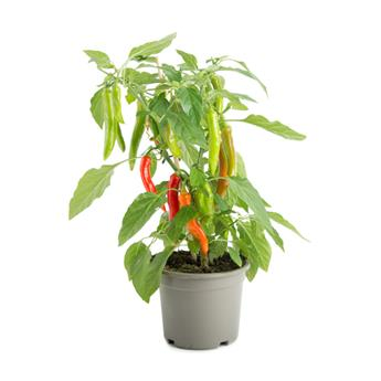CAPSICUM annuum D14  P x4 Hot Chili Red Pick