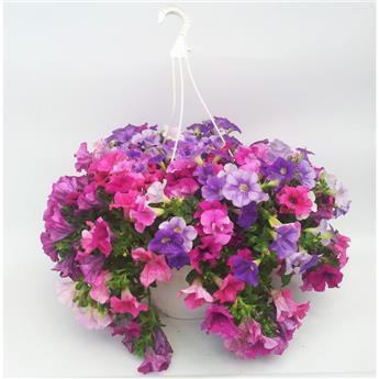 PETUNIA hybride D27 SUSPENSION Million Bells