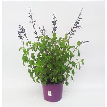 SALVIA nemorosa D19 Sunsation deep blue