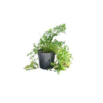 CORIANDRUM sativum D14 x8 Coriandre PLANTATION