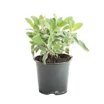 SALVIA officinalis D14 x8 Sauge Maxima POUR PLANT