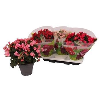 BEGONIA betulia D19 X3 Candy ROSE