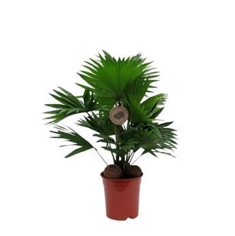 LIVISTONA rotundifolia D17 P x4 + COCO