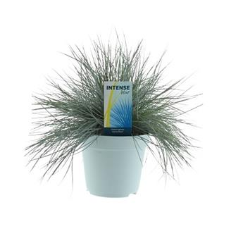 FESTUCA glauca D17 P Fetuque Bleu Intense 40-50cm