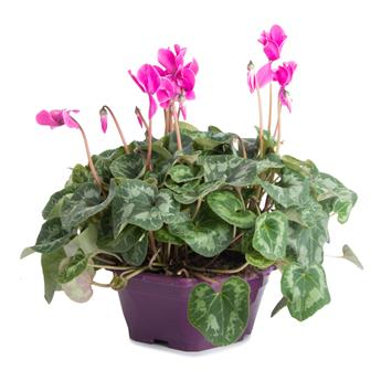CYCLAMEN hybride D25 COUPE 3PPP