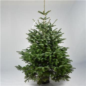 ABIES nordmanniana 125-150 CM CULTURE  POT D30-40