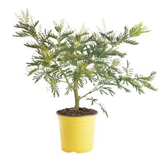ACACIA dealbata D19 50-55CM TOUFFE Mimosa d hiver