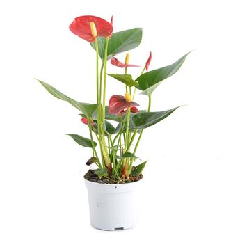 ANTHURIUM andreanum D09 ROUGEP x12 Royal Champion