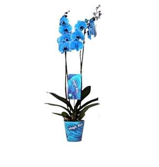 PHALAENOPSIS hybride D12 2BR X10 Teinte BLEU Orchidee