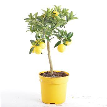 CITRUS floridana D14 X6 Limequat TIGE