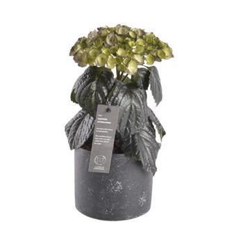 HYDRANGEA macrophylla D13    P X3 Smoked Black
