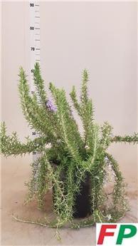 ROSMARINUS officinalis D27 P Prostratus