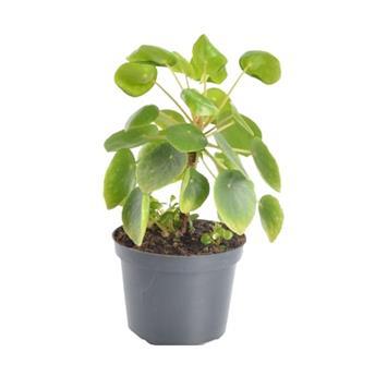 PILEA peperomioides D12 X8 Tige