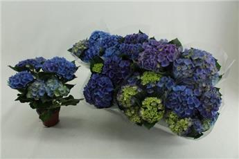 HYDRANGEA macrophylla D10 P X8 Felina Bleu 3+