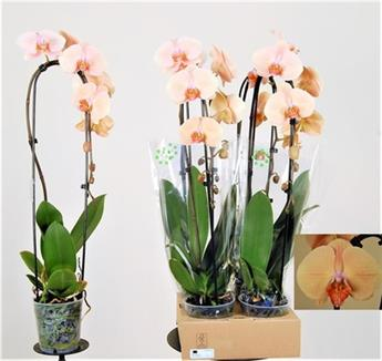 PHALAENOPSIS hybride D12 1BR x6 CASCADE MIX Orchidee