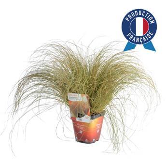 CAREX testacea C02 x8 Prairie Fire Colour Grass