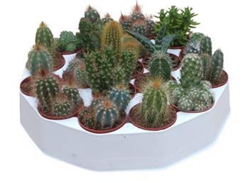 MINI PLANTE CACTEE D05.5 x19 PLATEAU MIX