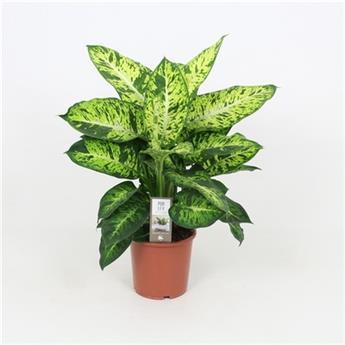 DIEFFENBACHIA maculata D17   P x6 Summer style