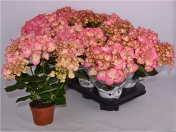 HYDRANGEA macrophylla D10 P X8 Clarissa 4+