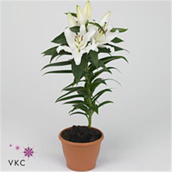LILIUM orientalis D13 P X8 BLANC
