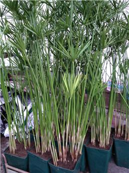 CYPERUS alternifolia 6L Pot Carre