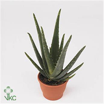 ALOE vera D21 P Aloe VRAIE Medicinale 65Cm