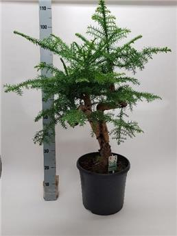 BONSAI ARAUCARIA D31 Bonsai 110CM