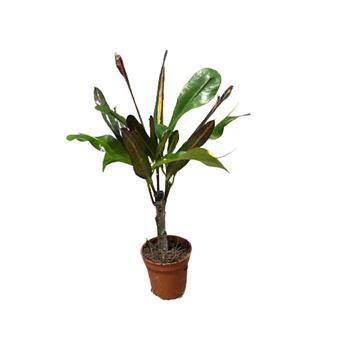 CODIAEUM variegatum D08 P X20 Excellent