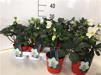 HELLEBORUS niger D12-13 x10 Christmas Carol
