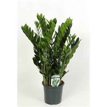 ZAMIOCULCAS zamiifolia D17 P 8+ 70-80CM