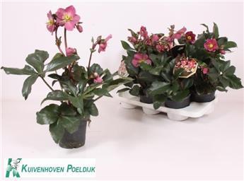 HELLEBORUS niger D15 x6 Ice N Roses Red