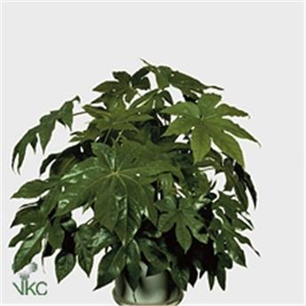 FATSIA japonica D24 P ARALIA a grandes feuilles 90CM