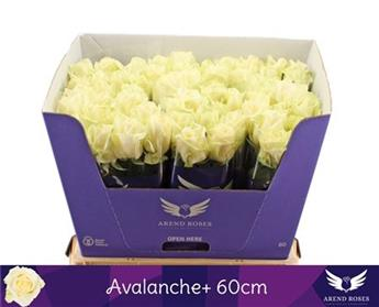 PC ROSA HYBRIDE 60CM P X50 Avalanche Arend