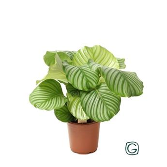 CALATHEA orbifolia D21 P 50CM
