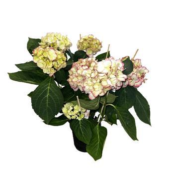 HYDRANGEA macrophylla D14 P x6 Hovaria Hobella-Holibel
