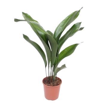 ASPIDISTRA elatior D17 P 70CM Plante en fer forge