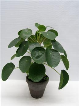 PILEA peperomioides D17T X4 TIGE