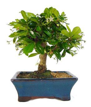 BONSAI CARMONA microphylla 05ANS Arbuste PEU RUSTIQUE