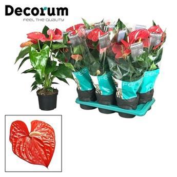 ANTHURIUM andreanum D17 ROUGEP Michigan 6+ Fleur d amour