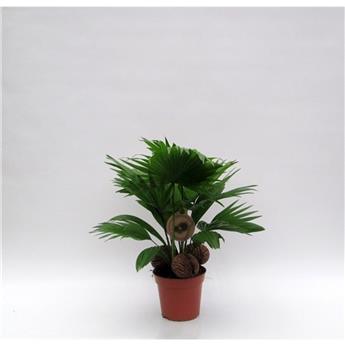 LIVISTONA rotundifolia D14 P x5 + COCO