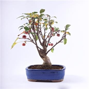 BONSAI MALUS 12ANS