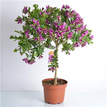 POLYGALA myrtifolia D19 TIGE Polygale a feuilles de