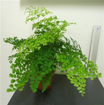 ADIANTUM cuneatum D13 Fragans x6 Capillaire simple