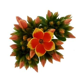 KALANCHOE blossfeldiana D09  P x15 Piton