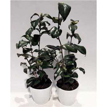 CAMELLIA japonica D23 P Unni 90CM