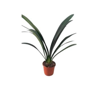 CLIVIA miniata D13 X8 Florid ORANGE
