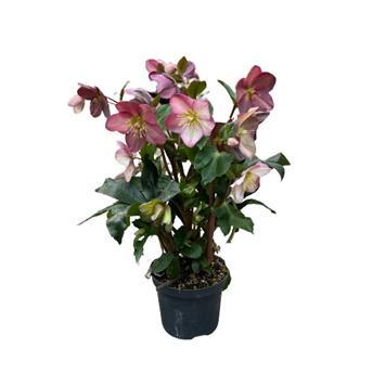 HELLEBORUS hybride D15       P x6 Ice Rose